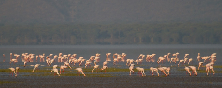 The flamingo migration to Lake Manyara is an awesome sight but difficult to predict (photo courtesy Chem Chem)