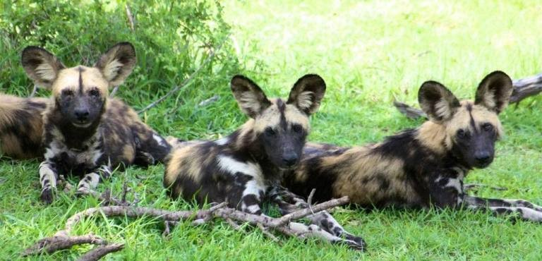 Selous Game Reserve is one of the best places to see African Wild Dog (photo courtesy Azura Selous)