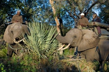 Abu camp guests riding on the habituated elephants as part of their luxury elephant educational safari
