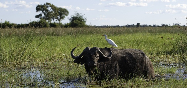 Game drive at Mombo delivers great buffalo sighting - photo courtesy Dana Allen