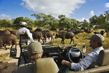 A huge herd of buffalo seen by guests on safari at Royal Malewane in Thornybush, Greater Kruger National Park